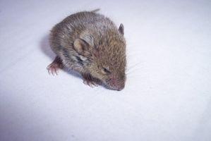 Cómo identificar los roedores mediante sus excrementos