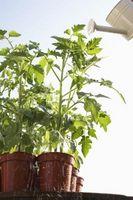 Contenedor de jardinería: Tomates tienen hojas caídos
