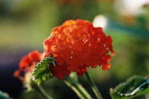 Verbena tipos de plantas