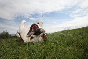 ¿Qué puedo alimentar a mi perro para evitar la muerte de la hierba?
