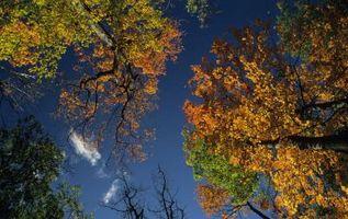Las setas que crecen en los árboles de arce de azúcar