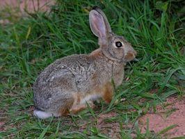 Cómo desalentar Conejos de comer plantas y flores