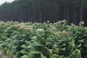 ¿Cómo hacer crecer a partir de semillas del tabaco floreciente