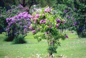 Verticales arbustos que crecen