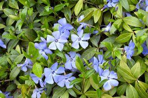 Planta Vinca variegada