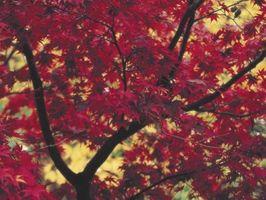 Arce rojo usos en productos de madera