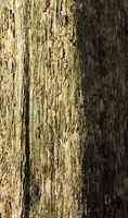 Los árboles de madera de nogal americano y barrenadores