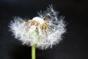 Las semillas que flotan en el aire