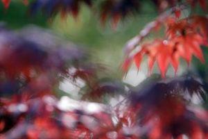 Enfermedades que llora de arce japonés