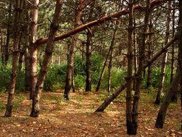 El cedro rojo Versus Yellow Pine Muebles
