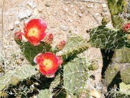 Tipos de Cactus Plantas Yard