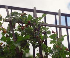 Las moras pueden ser cultivadas en contenedores?