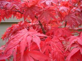 Red árbol de arce japonés