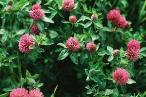 Beneficios roja flor del trébol