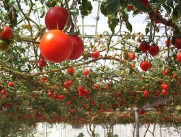 El aceite de pescado es un buen fertilizante para las plantas de tomate?