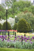 Cómo cuidar los tulipanes que ya están floreció