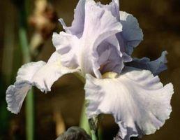 ¿Es usted Planta Iris Plantas en la luz del sol o la sombra?