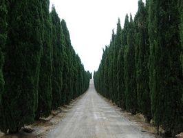 El Mejor altos y delgados árboles de coníferas