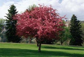 Cómo plantar árboles en flor roja de Apple de cangrejo