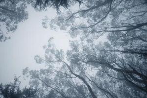 La compra de árboles de eucalipto