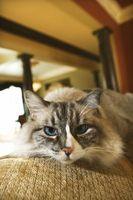 Remedios caseros para el gato pis en Alfombras