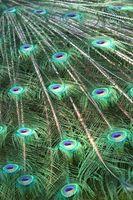 Cómo utilizar las plumas del pavo real en Centros de flores de seda