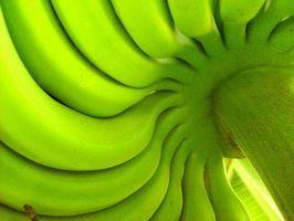 ¿Qué es la Clasificación científico de las plantas de banano?