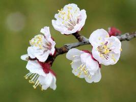 ¿Cómo hacer crecer árboles de albaricoque Blenheim