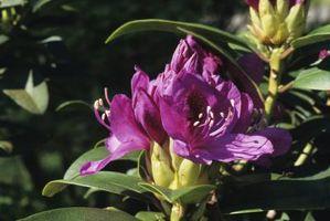 Cuál es el origen del rododendro?