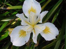 La historia de la flor del iris