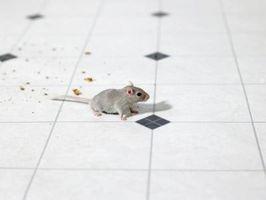 Tipos de roedores encontrados alrededor del hogar