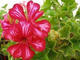 ¿Qué tipo de planta es común Desde que se propagan por estacas?