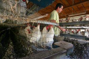 ¿Cuanto tiempo debe estiércol de pollo compostar Antes de usar?