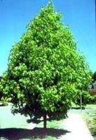Sobre Enfermedades liquidambar árbol