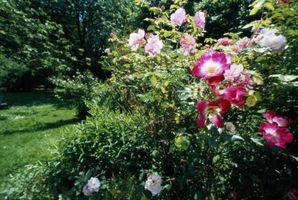 Cómo diseñar un arbusto con rosas Knock Out
