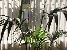 Información acerca palmeras de interior