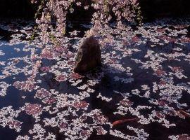 Enfermedades y los insectos de la floración de los cerezos púrpura de arena