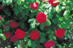 Las hojas amarillas en los arbustos de Rose