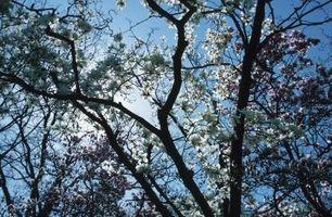 Cómo cavar a su alrededor y enderezamiento de un año de antigüedad árbol de la magnolia