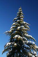 ¿Cómo los árboles de hoja perenne permanecen verdes durante todo el año?