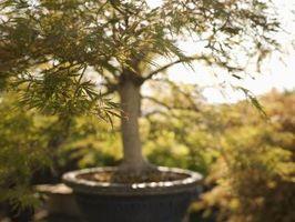 bonsai plagas