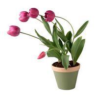 Cómo mantener los tulipanes en maceta Alive