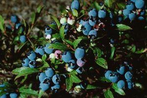 ¿Qué puede Cubra Blueberry arbustos con mantener a las aves fuera?