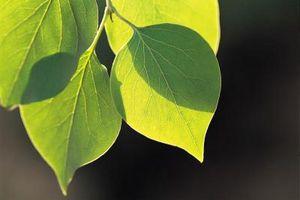 ¿Qué hacer para el árbol Hongo en álamos