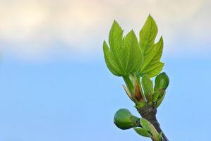Etapas de crecimiento de un árbol de higo