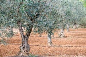 Altura de los olivos