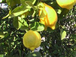 Etapas de crecimiento de un árbol de limón