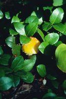 ¿Un Toadstool crecer al lado de un árbol?