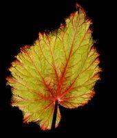¿Cómo hacer crecer esquejes Begonia