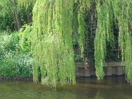 Foro de sauce que llora árboles necesitan un lugar con mucha agua?